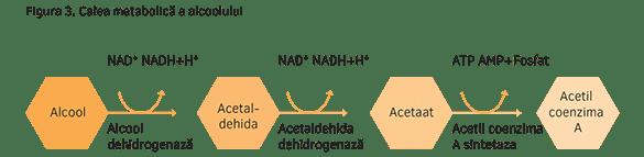 Calea metabolică a alcoolului